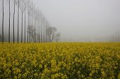 Misty Mustard Fields