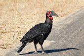 Ground Hornbill Walking Along Road