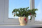 picture of schlumbergera  - Fine pink flower of Schlumbergera in a flowerpot - JPG