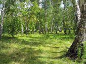 Summer landscape. Birch grove