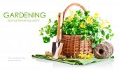 spring flower in basket with garden tool isolated on white background