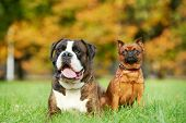 german tiger boxer dog and petit brabancon griffon lying on green grass at autumn background