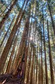Tall Trees In Forest With Sun Star