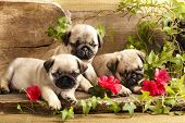 pug puppy's en bloemen in retro backgraun