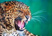 Closeup de leopardo