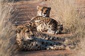 Rust Cheetahs (Rugby)