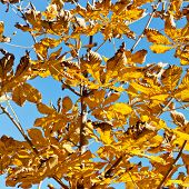Branch Of Horse Chestnut Tree With Yellow Leaves