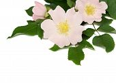 stock photo of wild-brier  - Pink flowers of wild rose isolated on white - JPG