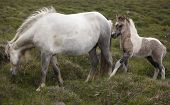 Icelandic Horse And Colt Grazing