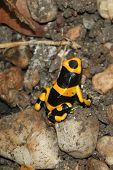 foto of poison arrow frog  - Yellow Poison Arrow Frog  - JPG