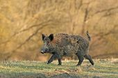 picture of boar  - Wild boar walking in forest in autumn morning - JPG