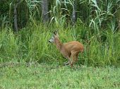 stock photo of roebuck  - Roebuck jumping on high grass beside forest - JPG
