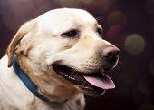 Dog, Labrador Retriever