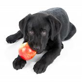 foto of begging  - Black Labrador Retriever Puppy isolated on white - JPG