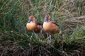Two Fulvous Whistling Duck