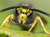stock photo of hornets  - yellow jacket wasp face close up macro - JPG