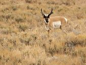 image of sagebrush  - Male pronghorn in sagebrush in Bryce Canyon National Park in fall - JPG