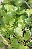 Green Leaf Of Centella Asiatica.