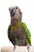 Hawk-headed Parrot (Deroptyus accipitrinus)