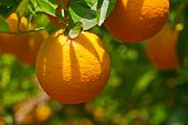 image of orange-tree  - oranges on tree - JPG