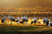 Crane Birds In Morning Light During A Spring