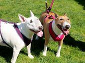 Two bull terrier friends on a walk