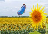 Blue Butterfly And Sunflower