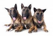 Three Malinois