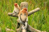 Proboscis Monkeys Sitting On A Tree, Borneo, Malaysia
