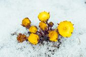 Flowers Adonis Among Snow