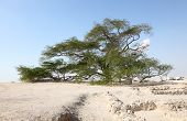 Tree Of Life In Bahrain, Middle East