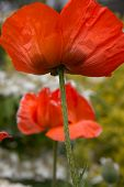 Two orange poppies in a field.