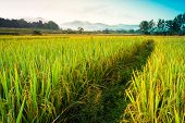 Rice Field Of Thailand With Blue Sky And Cloud