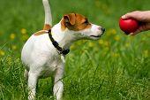 Jack Russell Terrier mascota