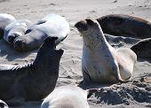 An Elephant Seal Confrontation