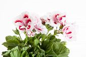 Blossoming red-white geranium