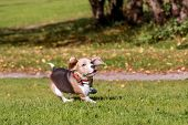 Beagle dog running on grass