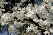 white flowers of plum tree at spring