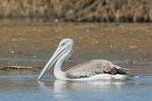 Pink-backed Pelican Floating Slowly By In The Mangroves