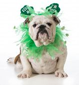 St. Patricks Day dog - english bulldog wearing kiss me I'm Irish headband isolated on white backgrou