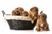 litter of puppies in a basket - dogue de bordeaux - 5 weeks old