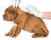 veterinary care - dogue de bordeaux being microchipped isolated on white background - 6 weeks old