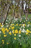 Spring Daffodil Garden And Trees