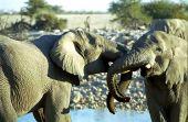 African elephants, Etosha National Park, Namibia poster