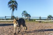 picture of mesopotamia  - Mountain Fox on El Palmar National Park  - JPG
