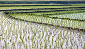stock photo of bangladesh  - View of cultivated field of rice in rural area of Bangladesh - JPG