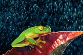 Little green tree frog sitting on red leaf in rain