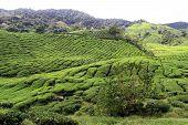 foto of cameron highland  - Tea plantation in Cameron Highlands in Malaysia - JPG