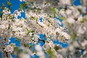 Cherry Tree With Spring Blossom