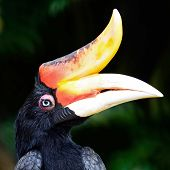 ������, ������: Rhinoceros Hornbill